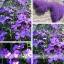 ดอก Aubrieta Seeds / 20 เมล็ด thumbnail 1
