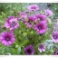 ดอกแอฟริกัน เดซี่ / 20 เมล็ด thumbnail 2