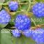 ราสเบอรรี่ สีฟ้า Blue Raspberry / 20 เมล็ด thumbnail 1