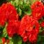 ดอก Geranium (แดง) / 20 เมล็ด thumbnail 1