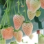 สตรอเบอรี่ขาว White strawberry /30 เมล็ด thumbnail 1