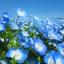 ดอก Nemophila : Baby blue eyes / 30 เมล็ด thumbnail 1