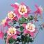 ดอก Zi Yan Aquilegia hardy perennial / 30 เมล็ด thumbnail 1