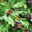 ราสเบอรี่ สีดำ Black Raspberry / 20 เมล็ด thumbnail 2