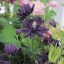 ดอก Clematis Black Seeds (ดำ) / 20 เมล็ด thumbnail 1