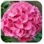 ไฮเดรนเยีย สีชมพู Hydrangea Pink / 10 เมล็ด thumbnail 1