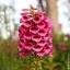 ดอก Foxglove (แดง) / 50 เมล็ด thumbnail 1