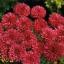 ดอก Centaurea (แดง) / 10 เมล็ด thumbnail 1
