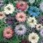 Love in a mist เลิฟ อิน อะ มิส ดอกรักในสายหมอก / 40 เมล็ด thumbnail 3