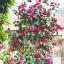 คามิเลีย Camellia Seeds/ 2 เมล็ด thumbnail 1
