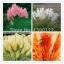 ดอก PAMPAS GRASS (สีส้ม) / 20 เมล็ด thumbnail 1