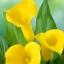 ดอก คอลล่าลิลลี่ สีเหลือง Yellow Calla Lily / 10 เมล็ด thumbnail 1