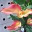 Calla Lily เมล็ดลิลลี่ ( สีชมพูอ่อน) / 20 เมล็ด thumbnail 1
