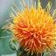 ดอกคำฝอย( Safflower) / 10 เมล็ด thumbnail 3