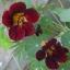ดอก Nasturtium seeds / 30 เมล็ด thumbnail 1