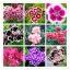 ดอกผีเสื้อ (คละสี) / 20 เมล็ด thumbnail 1