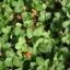 สตรอเบอรี่พันธุ์ ป่า /30 เมล็ด thumbnail 3