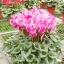 ดอก Cyclamen Seeds / 10 เมล็ด thumbnail 1