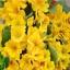 ดอก Primula Malacoides (เหลือง) / 20 เมล็ด thumbnail 1