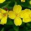 อีฟนิ่ง พริมโรส สีเหลือง / 30 เมล็ด thumbnail 1