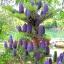 ต้น Abies koreana / 10 เมล็ด thumbnail 2