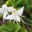 ดอก Angle Orchid / 10 เมล็ด thumbnail 1