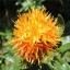 ดอกคำฝอย( Safflower) / 10 เมล็ด thumbnail 1