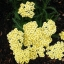 Achillea millefolium Yarrow Sneezewort Paprika mix Flower Bulk Seeds / 20 เมล็ด thumbnail 4