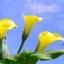 ดอก คอลล่าลิลลี่ สีเหลือง Yellow Calla Lily / 10 เมล็ด thumbnail 2