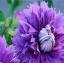 ดอก Clematis seeds Mix / 20 เมล็ด thumbnail 1