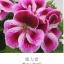 ดอก Geranium Pink / 30 เมล็ด thumbnail 1